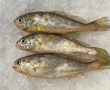 这几种鱼都很像大黄鱼,到底哪一种才是大黄鱼?